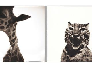 giraffe and bobcat