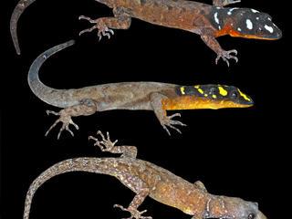 new amazon lizard