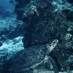 Marine turtle