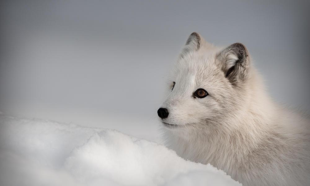 Arctic Fox Species Wwf