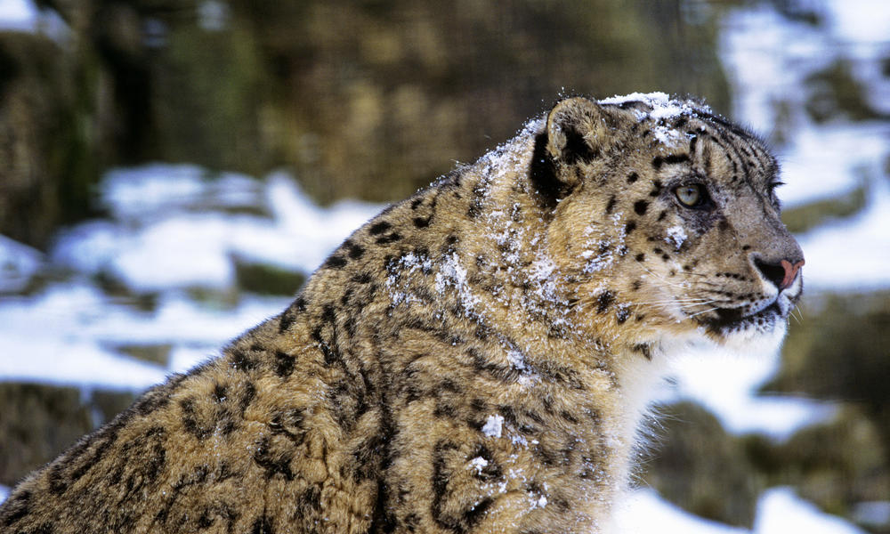 Building A Future For Snow Leopards Stories Wwf