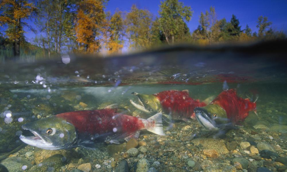 Sockeye salmon, British Columbia, Canada