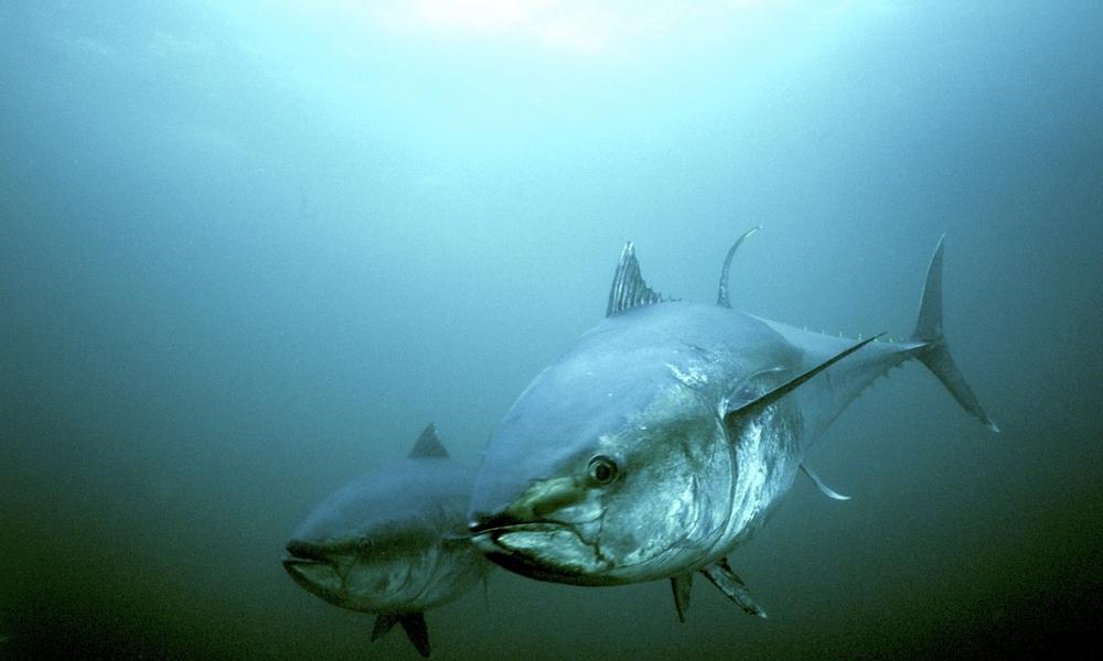 two tuna