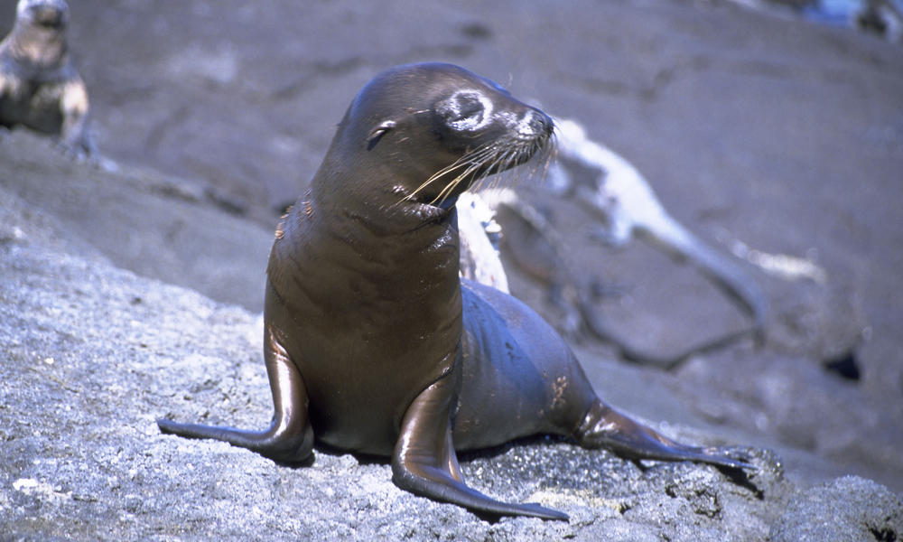 Sea Lion