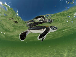 Green Turtle Circle Image
