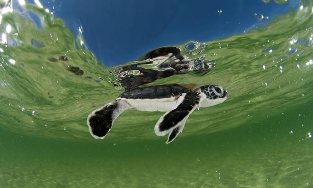 Green turtle hatchling swimming in the shallows of the sea in Indonesia