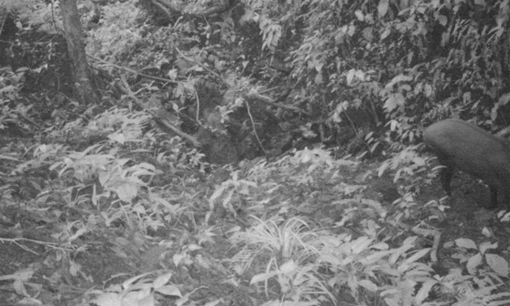 Saola image from camera trap