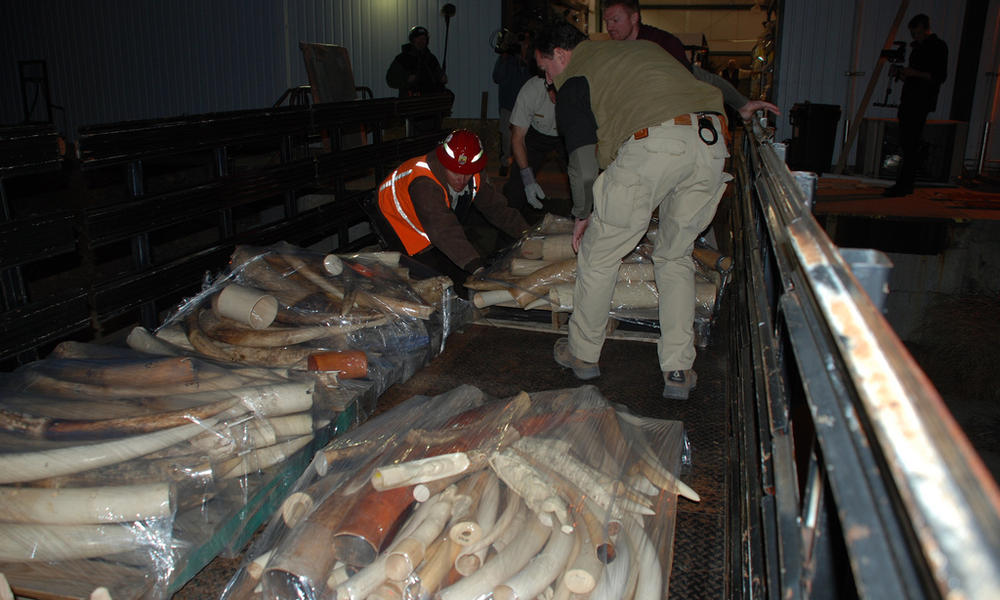 Ivory tusks before ivory crush