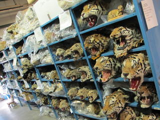 tiger head repository