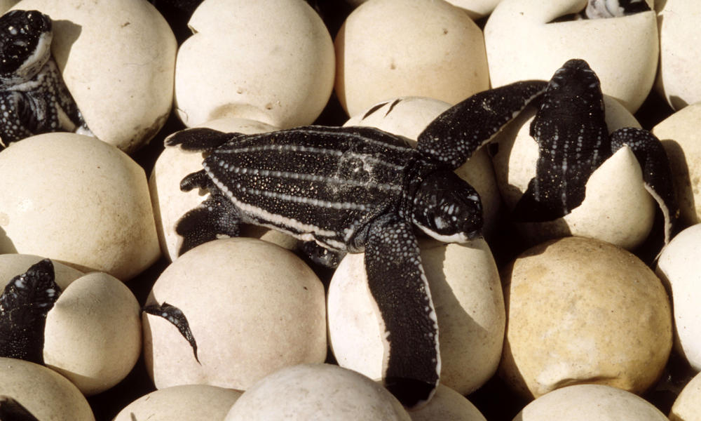 baby turtle on eggs