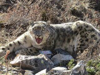 snow leopard in Nepal