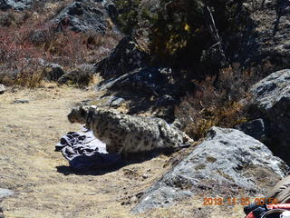collared snow leopard