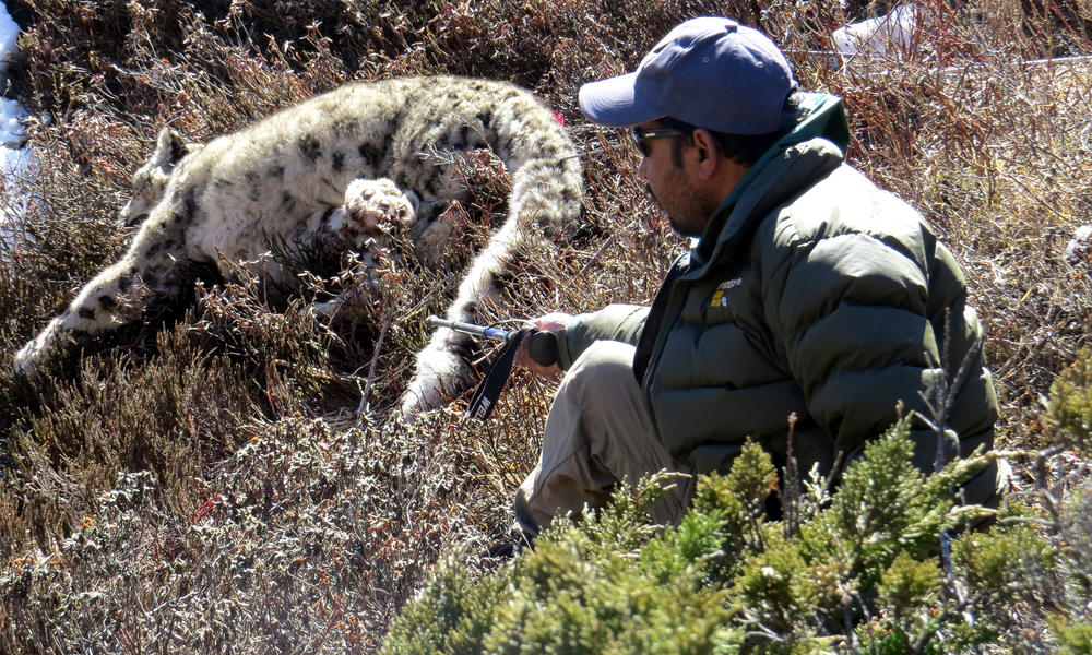 snow leopard collaring in Nepal