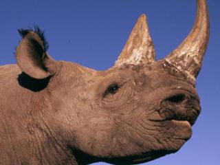 Swc-rhino