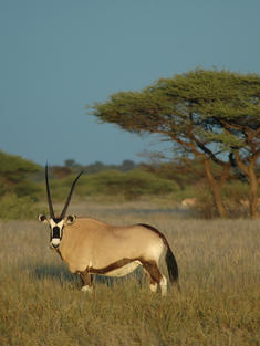 oryx Kalahari Botswana TRAVEL ONLY