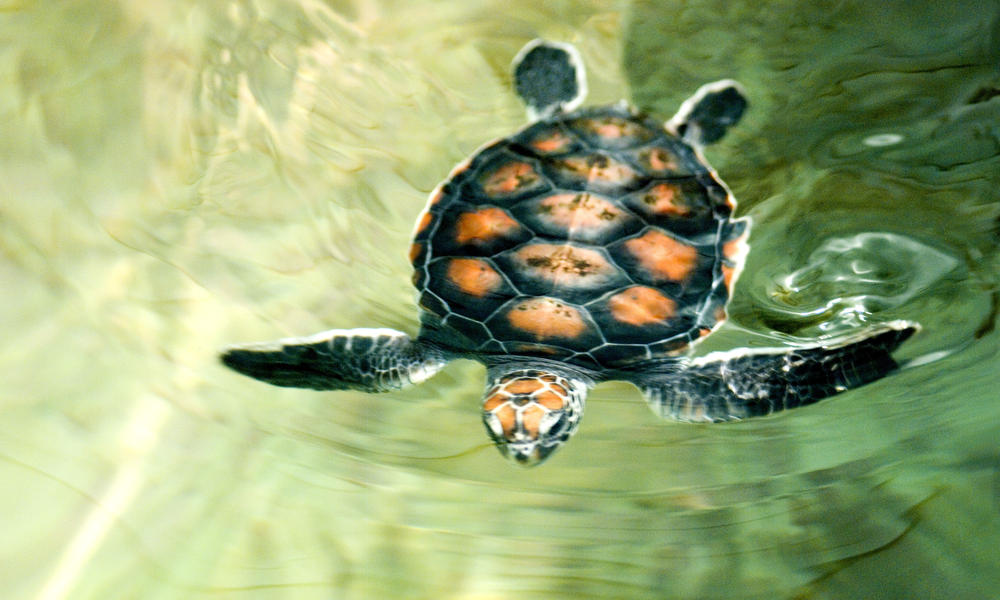 flatback swimming