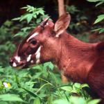 LG-Saola_Hero_image_(c)_David_Hulse_WWF_Canon.jpg