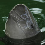 Yangtze Finless Porpoise