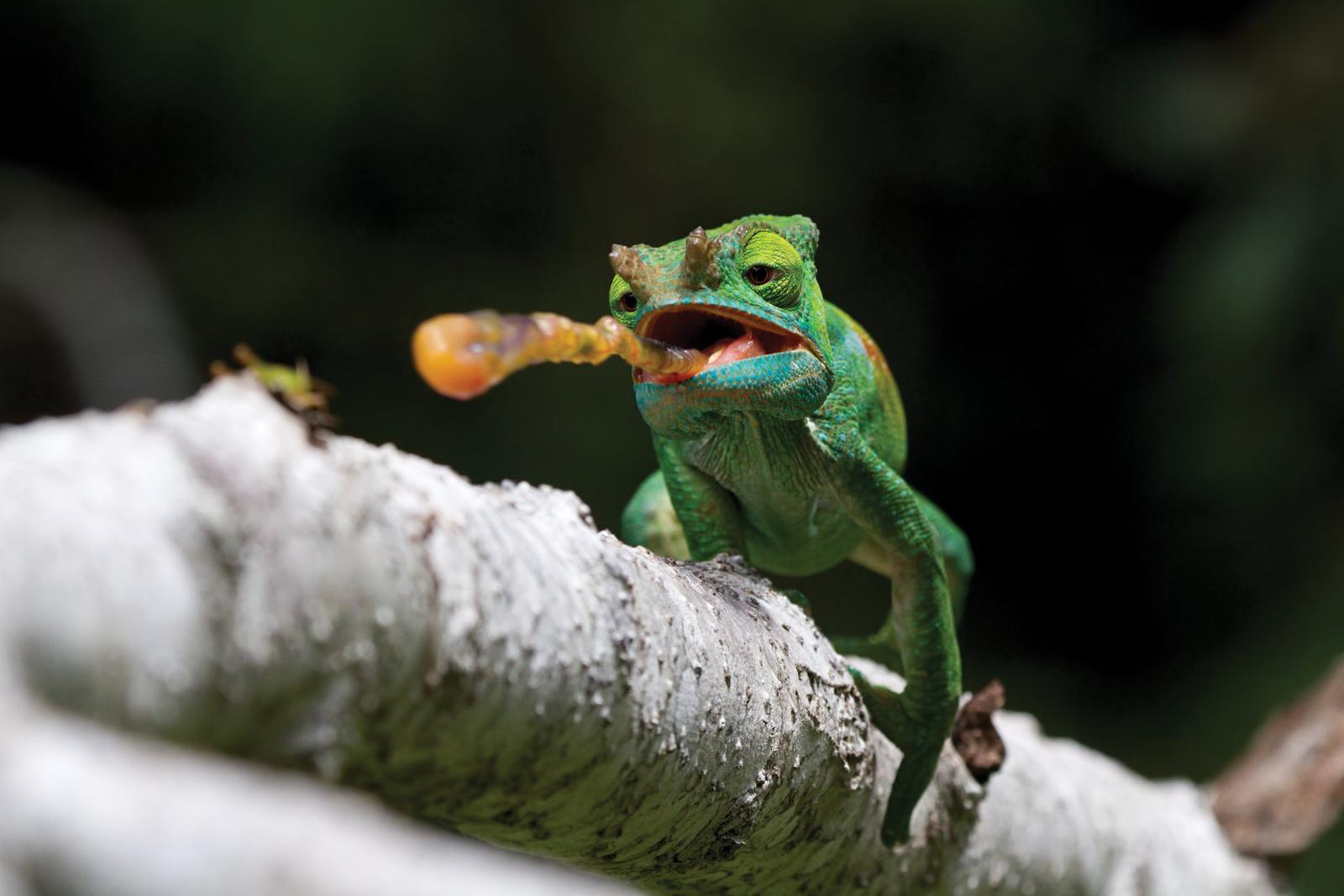 Giovanni mari parson chameleon mini