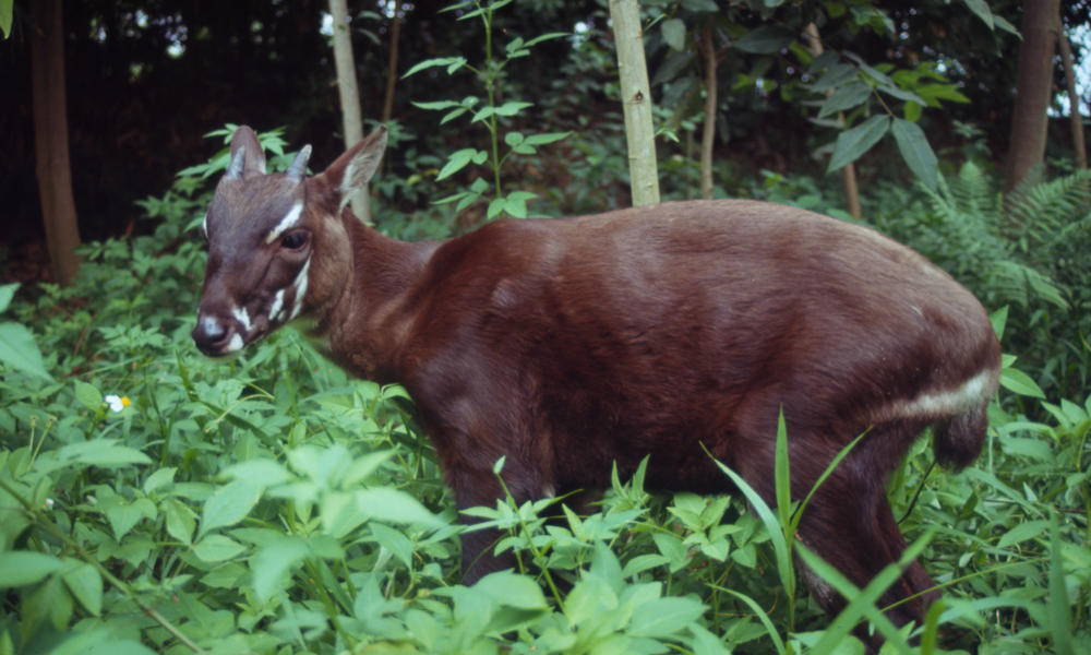 Saola