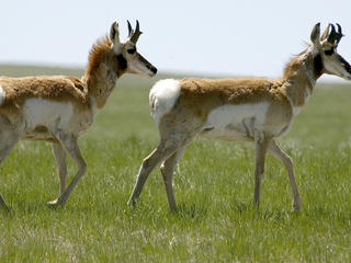 Pronghorn