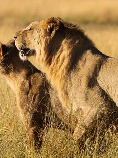 lion lioness pair Zimbabwe TRAVEL ONLY