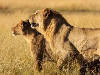 Mellisa-scott-lion_pair