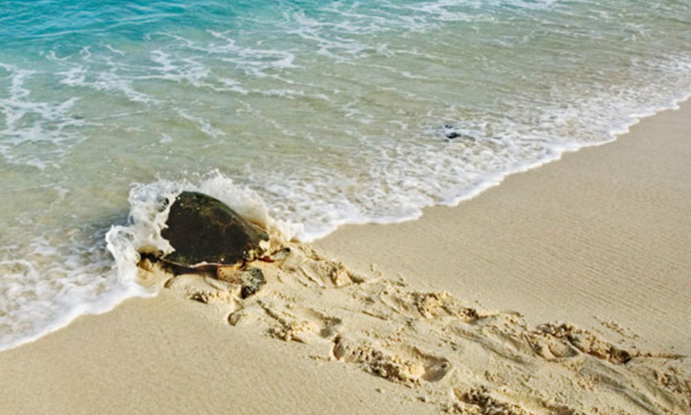Hawksbill Turtle,  female heading back to the sea after laying eggs