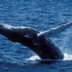 Humpback_whale_07.24.2012_help