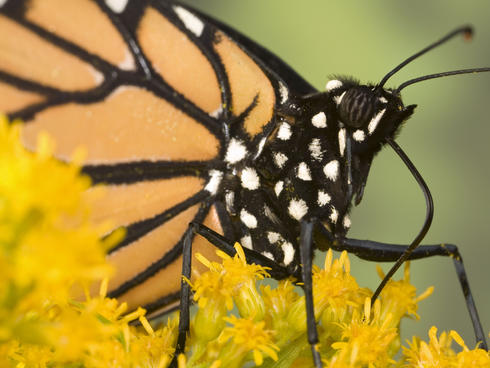 monarch up close