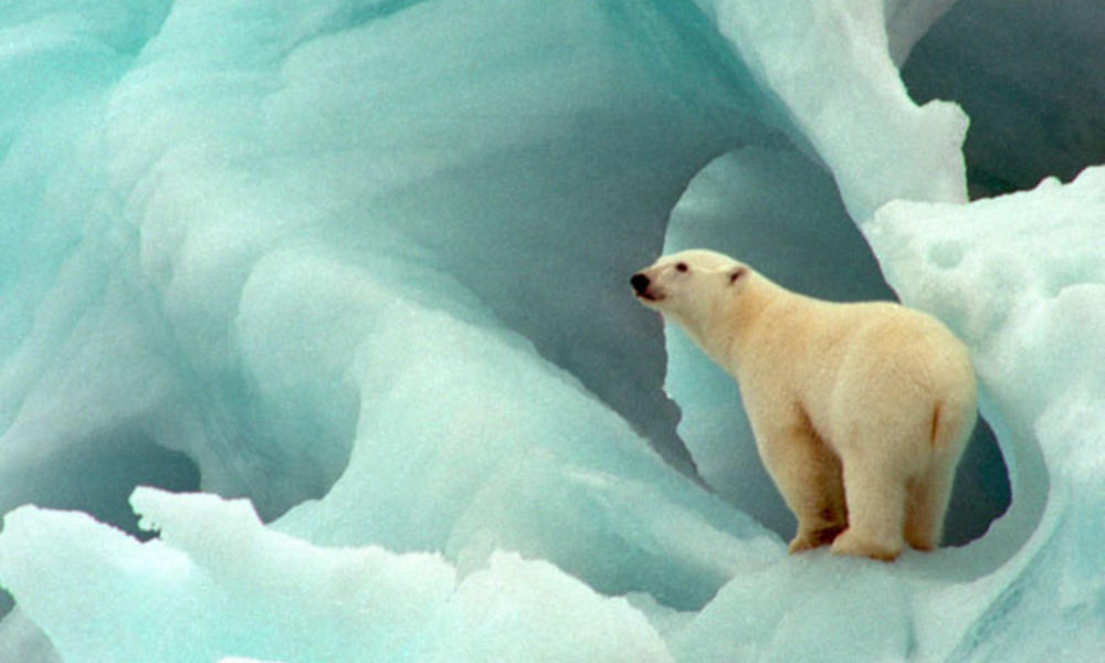 Polar bear in blue ice
