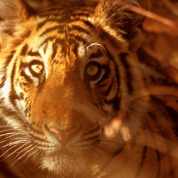 Indian_tiger2_07.24.2012_help