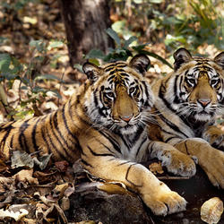Indian_tigers_07.24.2012_help
