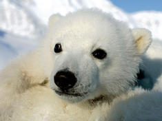 Polar bear cub