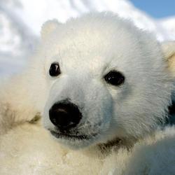 Polar_bear_cub_07.24.2012_help
