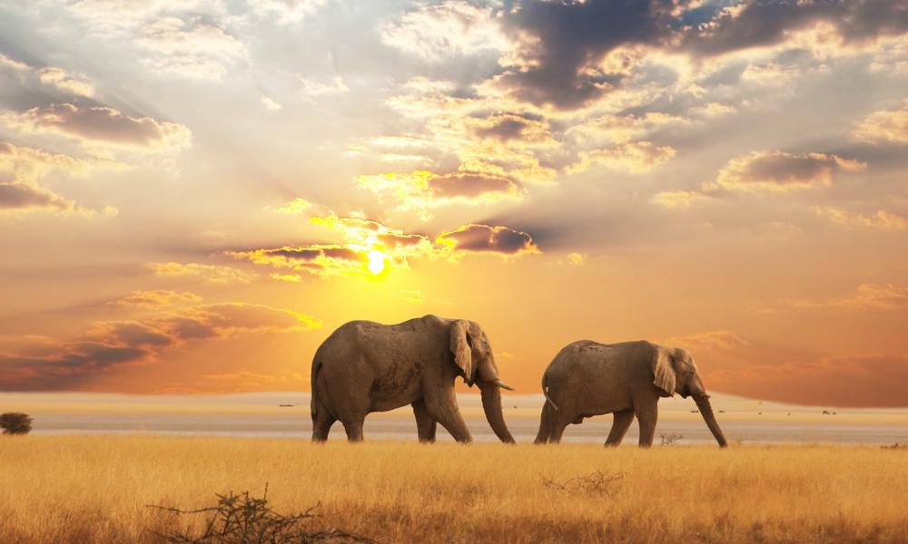 african elephants from a distance