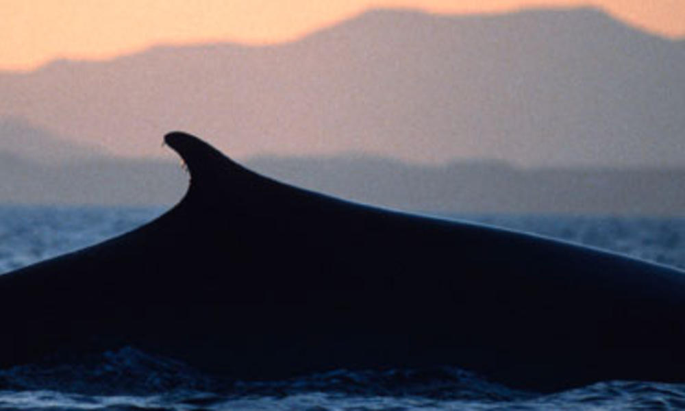 Fin whale surfacing