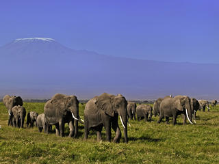 African elephant (Loxodonta africana), herd with Kilimanjaro mountain in the background.