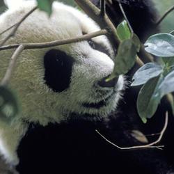 Giant_panda2_07.24.2012_help