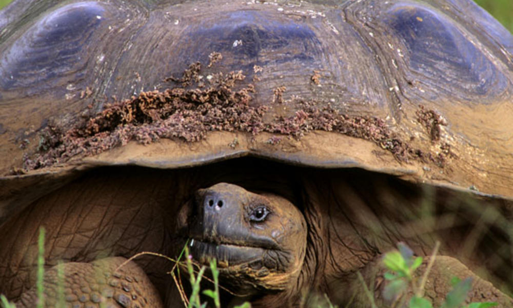 Galapagos giant tortoise