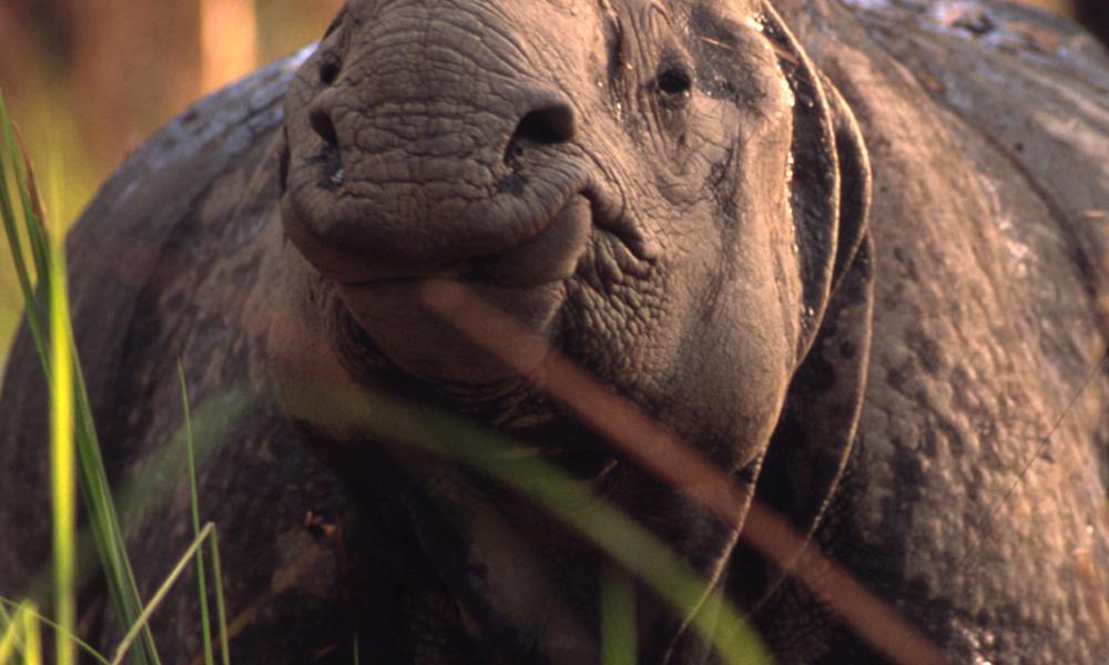 nepal rhino