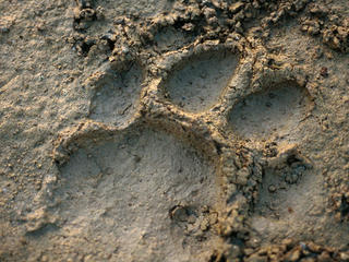 Tiger track