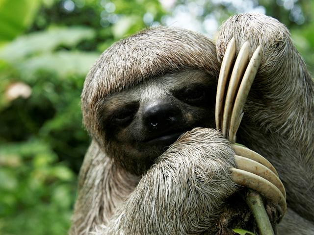 sloth closeup