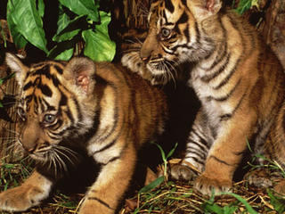 Sumatran tiger cubs
