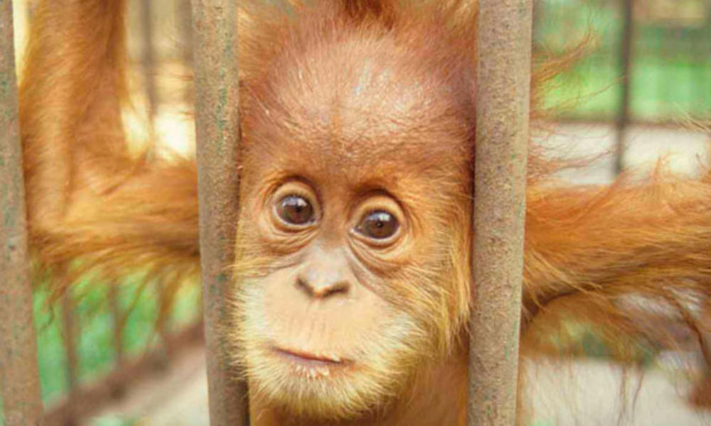 Captive orangutan