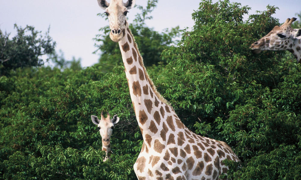 giraffes in trees