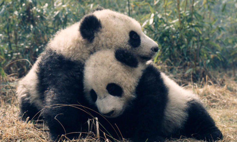 Giant pandas