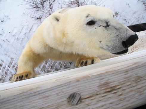 polar bear next to fence