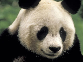 Giant Panda