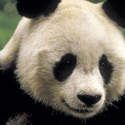 Giant_panda3_07.24.2012_help